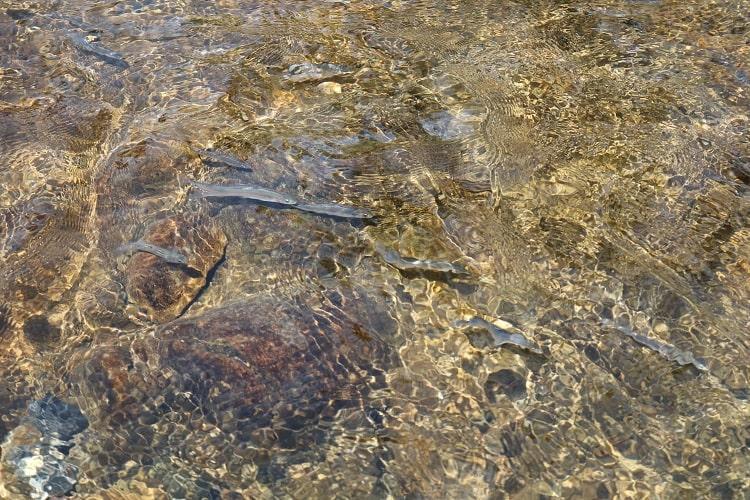 津保川に旅立った稚鮎たち
